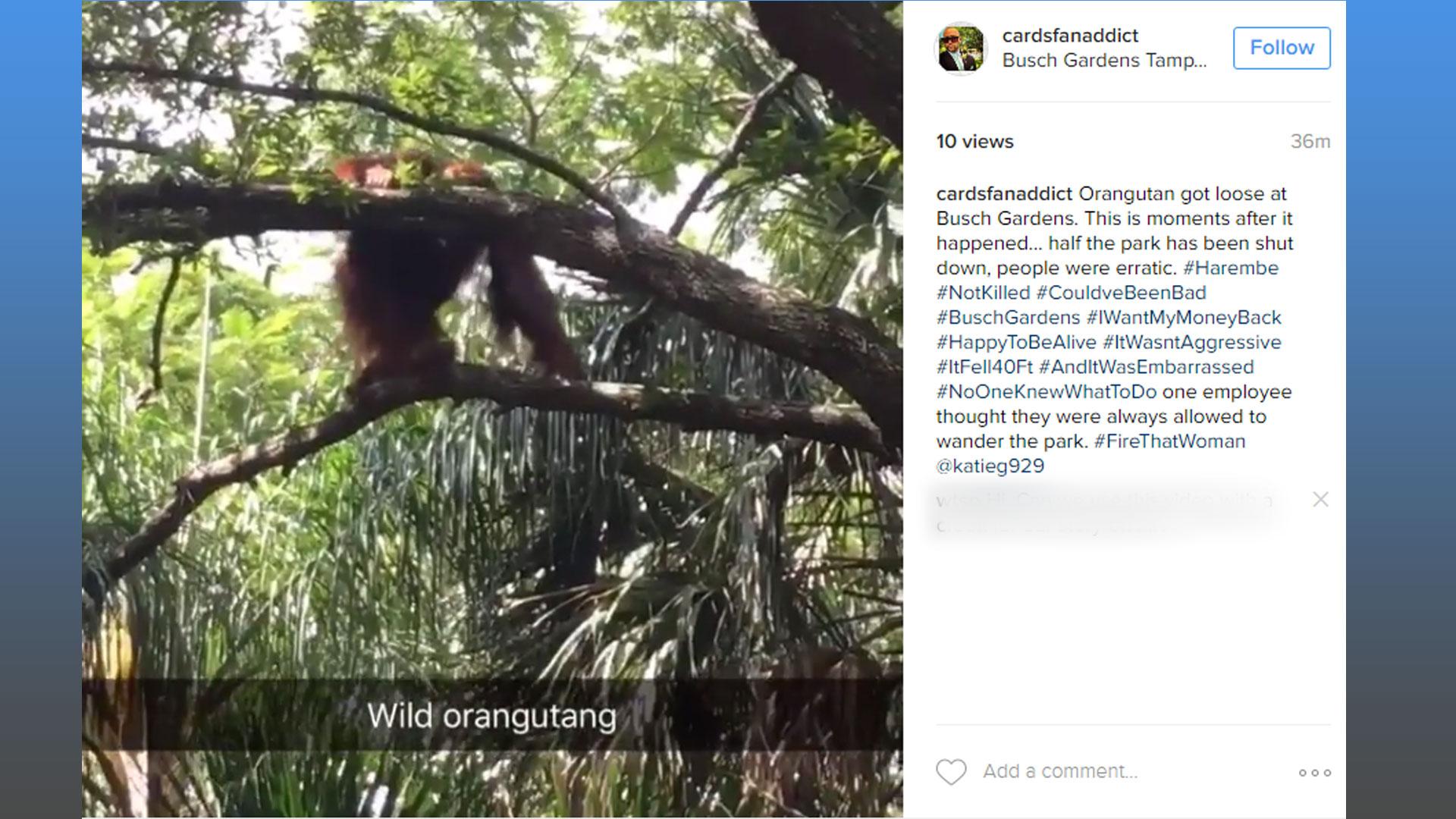 Orangutan Tranquilized Returned To Enclosure At Busch