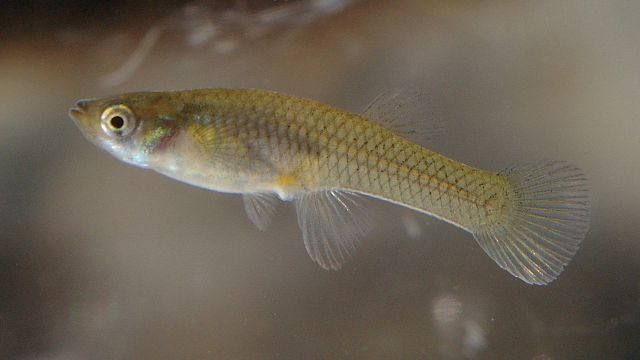 Free mosquito fish available in hillsborough for Mosquito eating fish