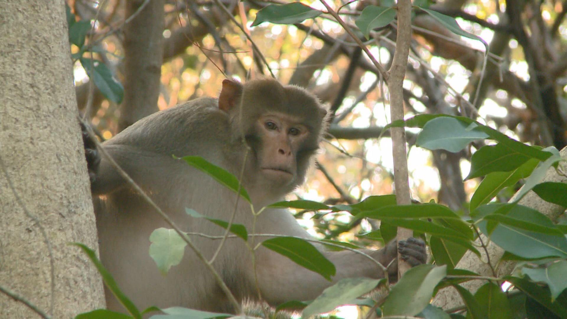 Vervet Monkey Likes Life In Fort Lauderdale Neighborhood