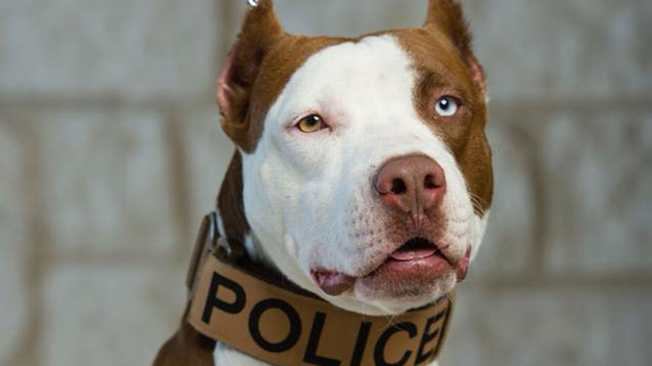 Pitbull Dog Quotes Wtsp  Police Deptusing Pit Bull As K9 Cop Hoping To